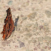 green comma butterly