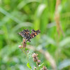 I think this is a green comma butterly with its wings closed