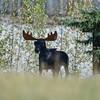 this moose is on a farm near Sundre