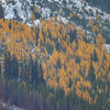aspens high on the mountain side