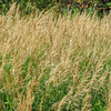 mountain meadow grass