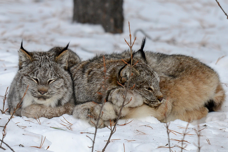 """Lynx Pictures Featured on Toque & Canoe<br />     Toque & Canoe is an award winning travel blog and they have kindly featured the pictures of the Lynx...<br />     If you would like to take a look here is the link:<br />     <a href=""""https://www.facebook.com/pages/Toque-and-Canoe/166504546750300"""">https://www.facebook.com/pages/Toque-and-Canoe/166504546750300</a><br />     Also Roots Canada FB picked it up and Canada Tourism Commission tweeted the link also.."""