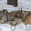 "Lynx Pictures Featured on Toque & Canoe<br />     Toque & Canoe is an award winning travel blog and they have kindly featured the pictures of the Lynx...<br />     If you would like to take a look here is the link:<br />     <a href=""https://www.facebook.com/pages/Toque-and-Canoe/166504546750300"">https://www.facebook.com/pages/Toque-and-Canoe/166504546750300</a><br />     Also Roots Canada FB picked it up and Canada Tourism Commission tweeted the link also.."