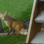 Red Fox Vixen Jun 2012 (Shar's Snaps) :