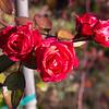 Thanksgiving Roses