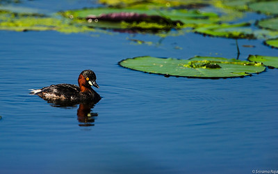 Little Grebe (Tachybaptus ruficollis), also known as Dabchick