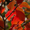 Witch Hazel Fall Color