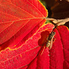 Wasp on Witch Hazel Leaf in October