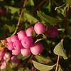 Snowberry (Symphoricarpos)