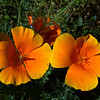 California Poppy, JCMG Demonstration Gardens