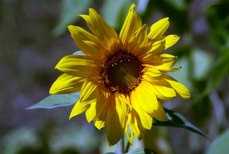 Second Sunflower raised by Joellen