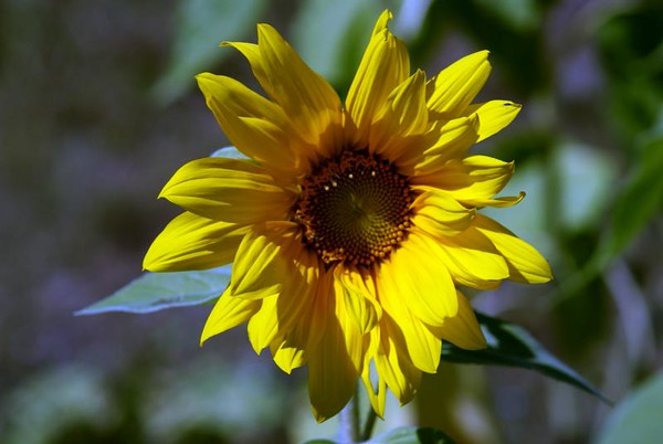Second Sunflower raised by Joellen