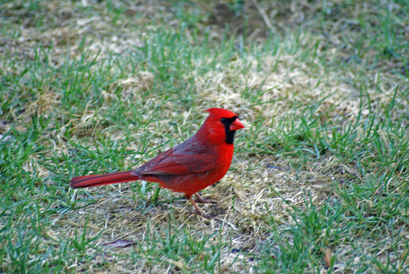 Bright Red friend came a calling at 5 am.
