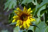 JoEllen's Sunflower