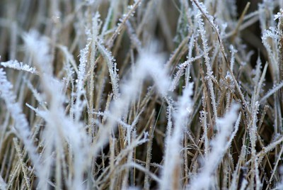 Sugar coated grass. Frost visits...