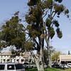 Mistletoe covered oak in downtown Medford