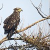 Very Young Bald Eagle