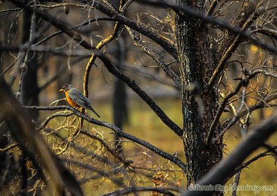 A robin proves life after forest fire, one year after fire destroyed green life around Mack Lake. Day #61.
