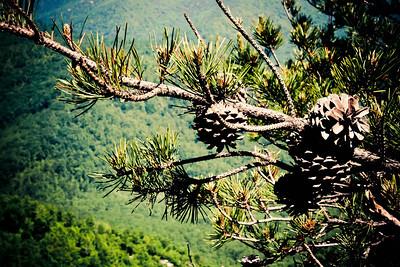 Pine Cones; Old Rag 2013