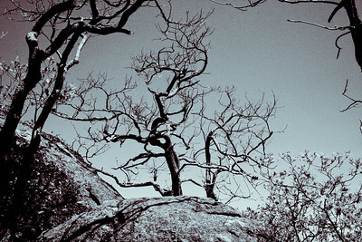 Twisted Branches; Old Rag 2013