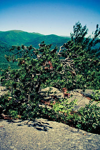 Little Pine Tree; Old Rag 2013