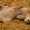 Muffin does this exact same thing as this Lion..although muffin looks cuter doing it.