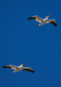 I love how in unison these pelican's fly - Walden Ponds