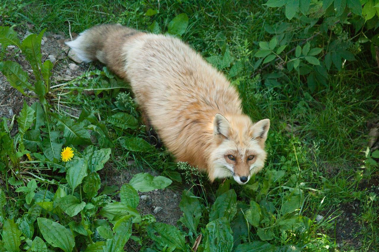 15.Omega Animal Wilderness, Montebello. Fox. 6/18/13