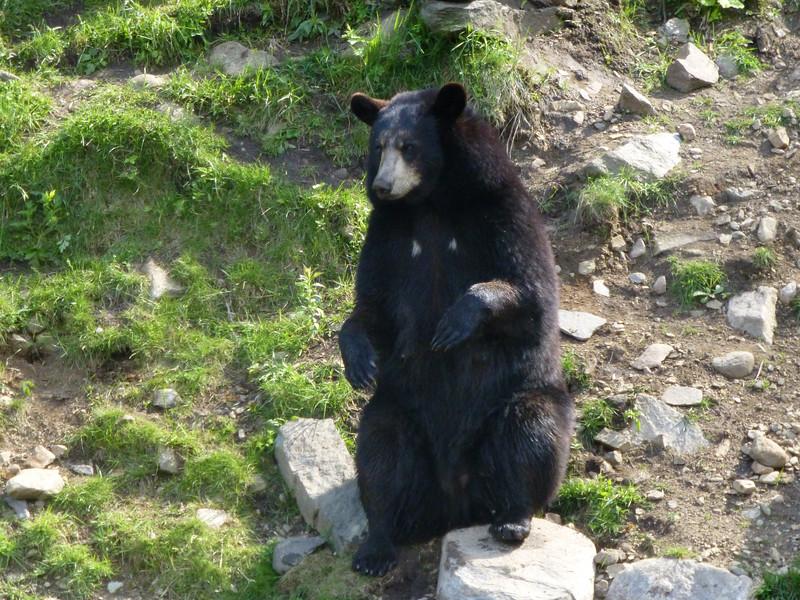 14.Omega Animal Wilderness, Montebello. Bear. 6/18/13