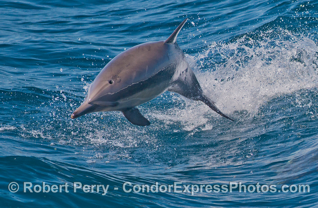 A leaping common dolphin (<em>Delphinus capensis</em>).  The starting point of this leap is shown in the previous image.