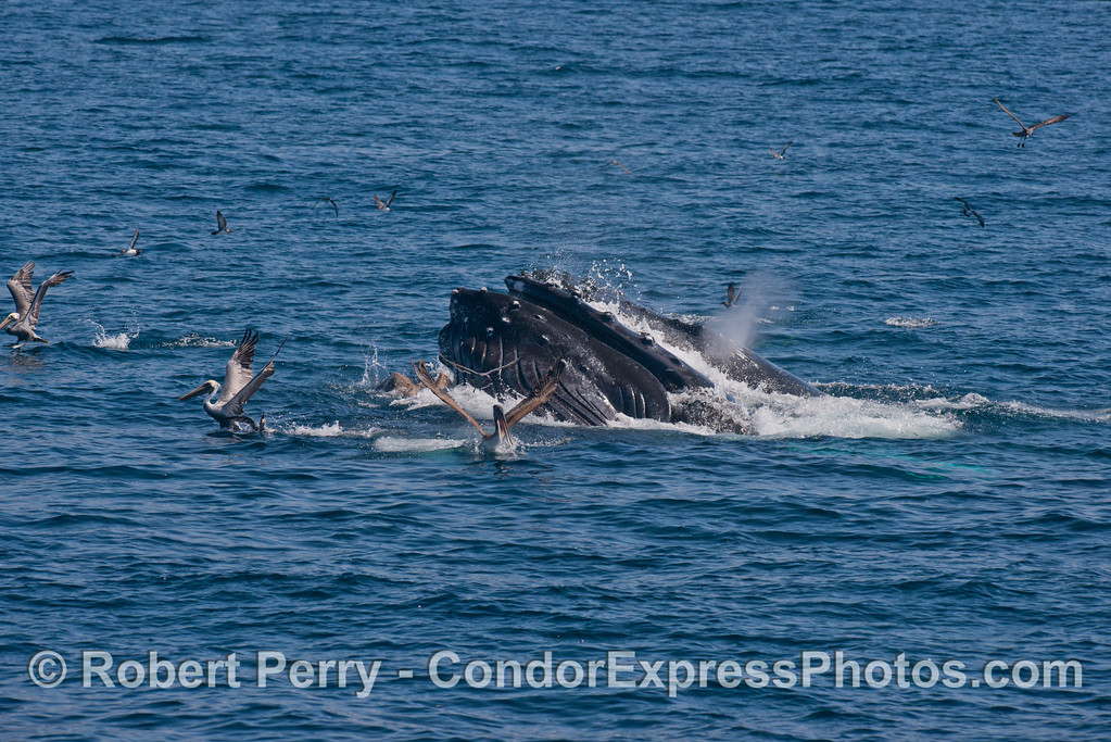 A lunging humpback whale (<em>Megaptera novaeangliae</em>) sends the pelicans flying for their lives.