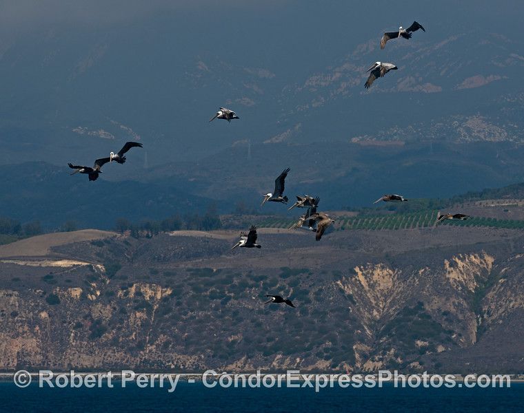 A flock of brown pelicans (<em>Pelecanus occidentalis</em>) hovering high in the sky over a giant ball of anchovies beneath the surface of the ocean.  the hills of western Ventura county are seen in the back as well is highway 101 down at the water's edge.