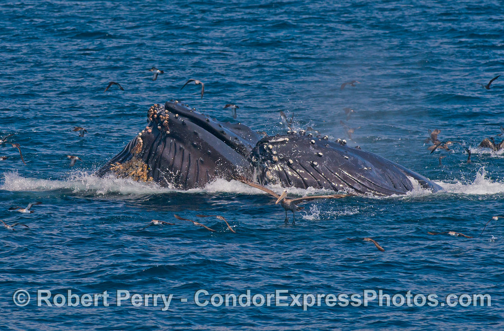 Lots of accordion expansion as the ventral groove blubber of two lunge feeding humpback whales (<em>Megaptera novaeangliae</em>) is seen full of water and fish.