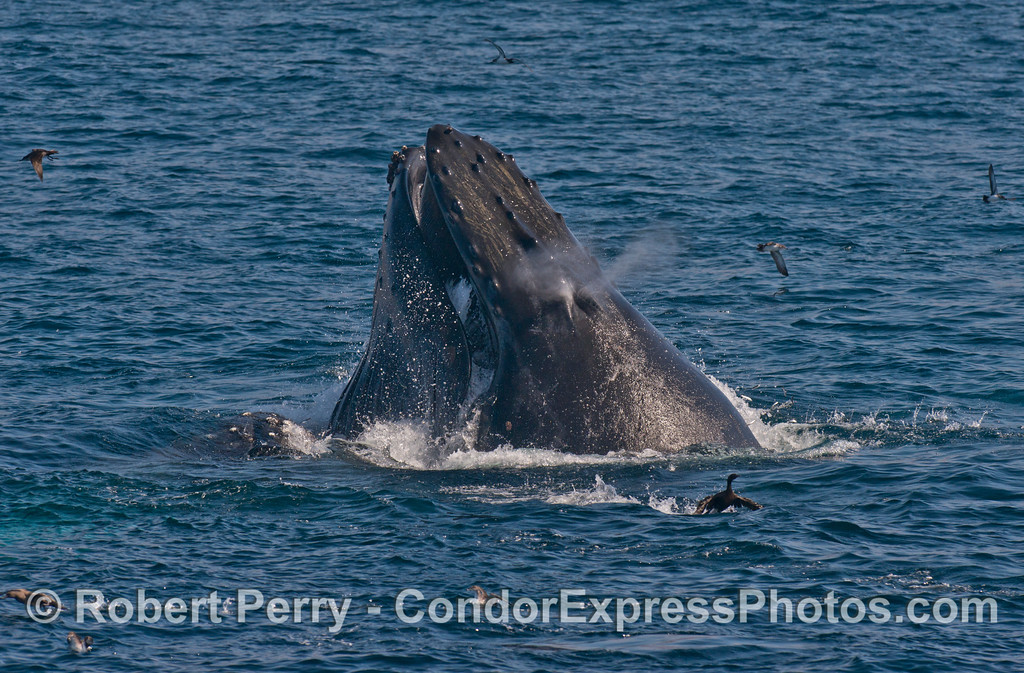 Two humpback whales (<em>Megaptera novaeangliae</em>) lunge feeding side by side; one spouts a bit.