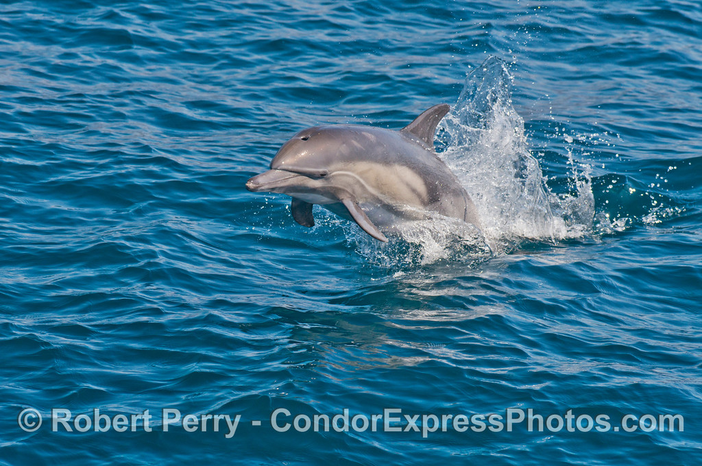 Another jumper --  a common dolphin (<em>Delphinus capensis</em>).