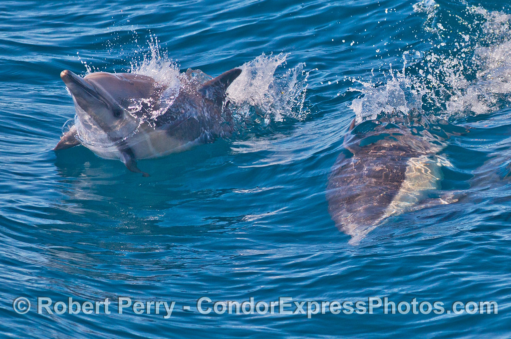 One common dolphin (<em>Delphinus capensis</em>) surfs a wave while a second animal breaks the surface and starts a leap.  The next image shows the leaping dolphin.