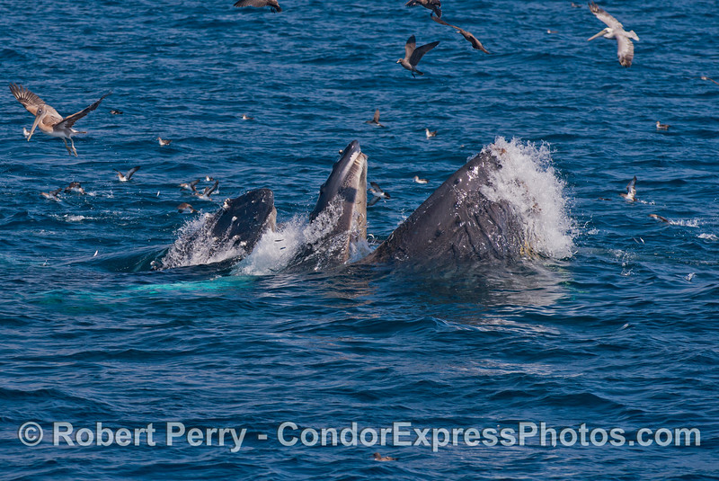 Two surface lunge feeding humpback whales (<em>Megaptera novaeangliae</em>) with plenty of baleen showing.