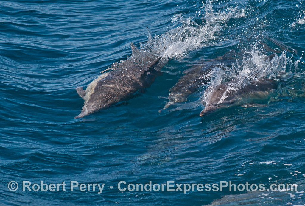 A trio of surfing common dolphins (<em>Delphinus capensis</em>).