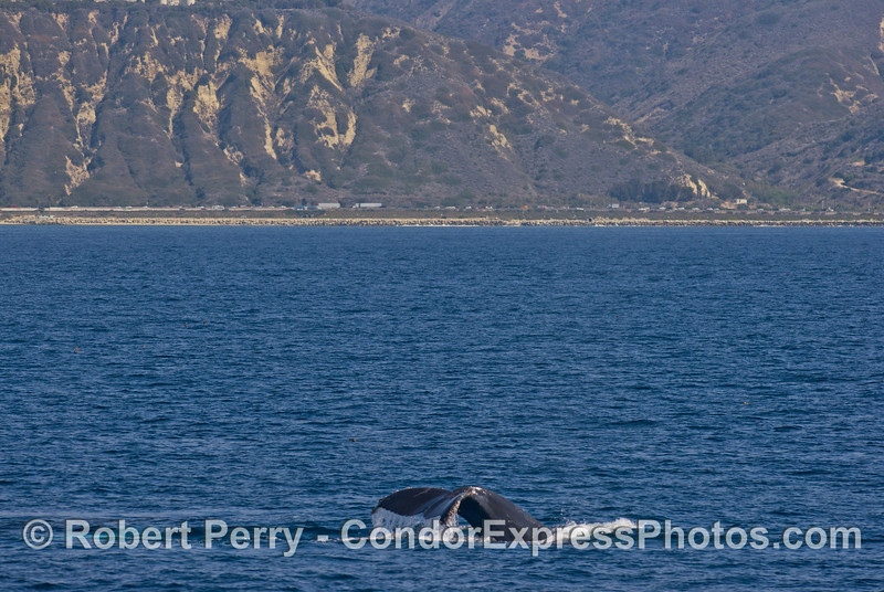 Highway 101 along west Ventura is seen in the background of this tail fluking humpback whale (<em>Megaptera novaeangliae</em>).