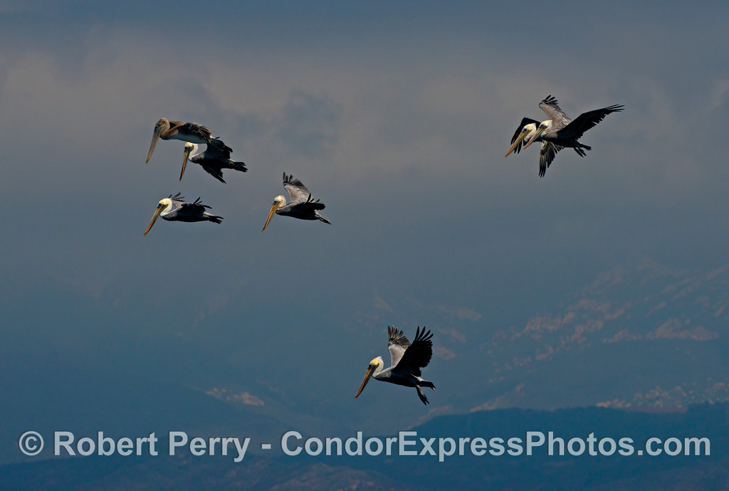 The second of three shots of a flock of brown pelicans (<em>Pelecanus occidentalis</em>) hovering high in the sky over a giant ball of anchovies beneath the surface of the ocean.