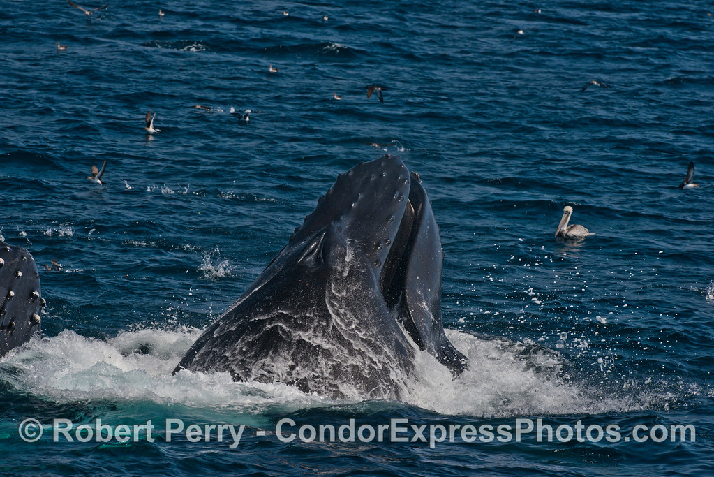 A look down the brawny back and head of a lunge feeding humpback whale (Megaptera novaeangliae).