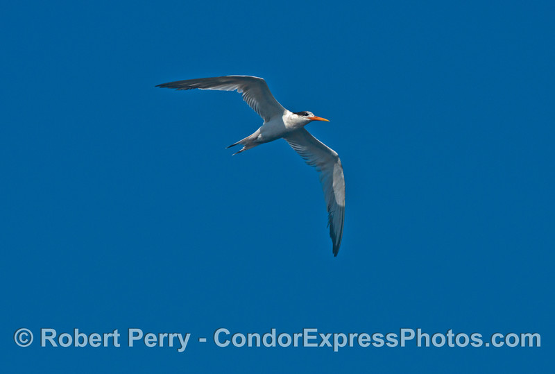 An elegant tern (<em>Sterna elegans</em>) is brought into the hot spot by all the life and activity.