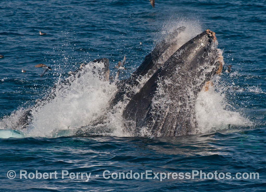 Foam and spray is sent everywhere as two baleen guided missiles erupt from beneath the anchovy school...humpback whales (<em>Megaptera novaeangliae</em>).