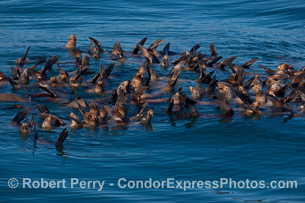 A mob of relaxin' California sea lions (Zalophus californianus) cluster together for security and to socialize.