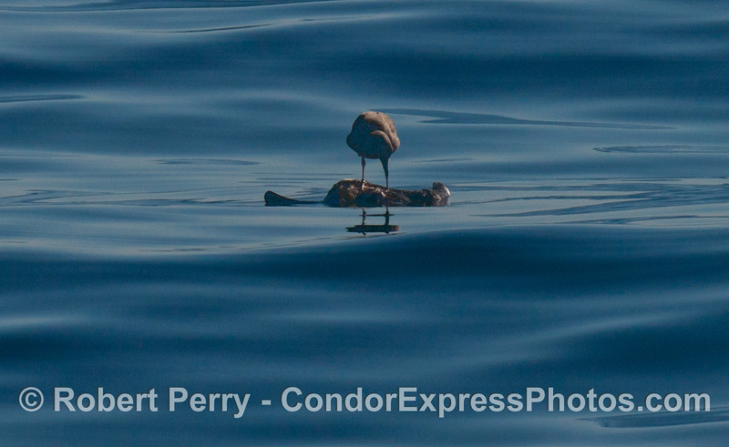 A gull (<em>Larus</em> sp) is seen perched atop a dead mammal.