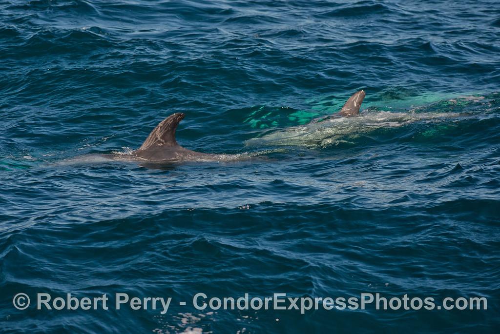 Risso's dolphin (<em>Grampus griseus</em>).