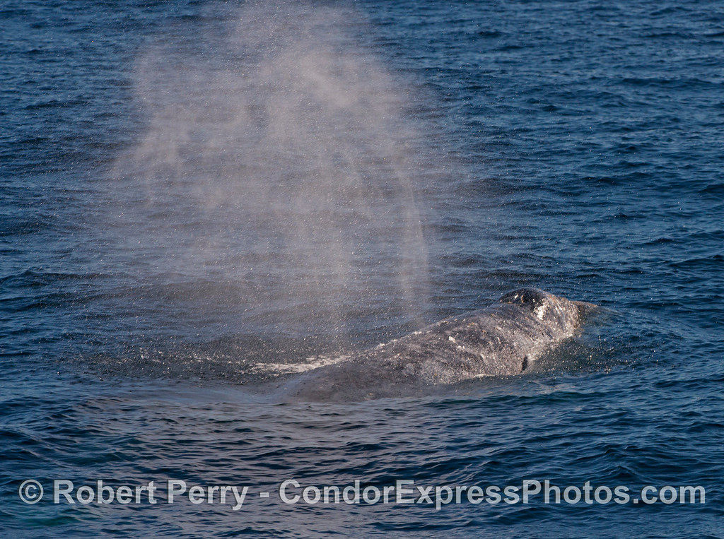 A close look at a Pacific gray whale (<em>Eschrichtius robustus</em>) spouting.