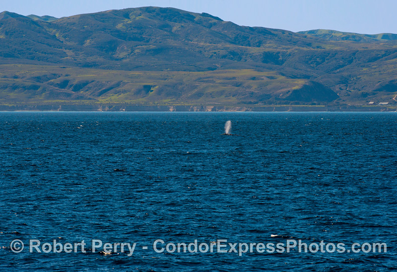A Pacific gray whale (<em>Eschrichtius robustus</em>) sends up a tall spout with beautiful Santa Rosa Island in the background.