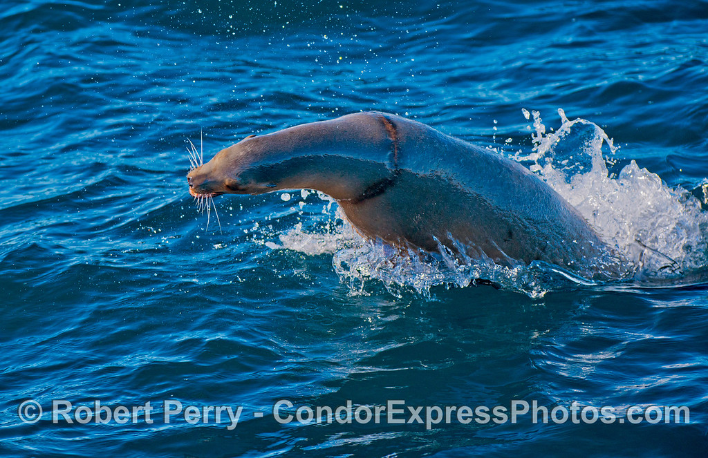 "A California sea lion (<em>Zalophus californianus</em>), with a ""necklace"" entanglement scar around its neck, leaps through the blue water as part of a giant herd of sea lions traveling through the Santa Cruz Channel."