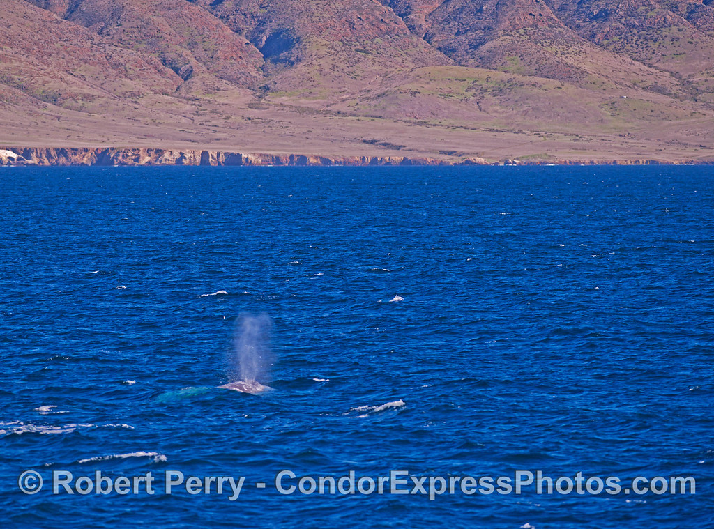 A Pacific gray whale (<em>Eschrichtius robustus</em>) sends up a tall spout with Santa Cruz Island in the background.